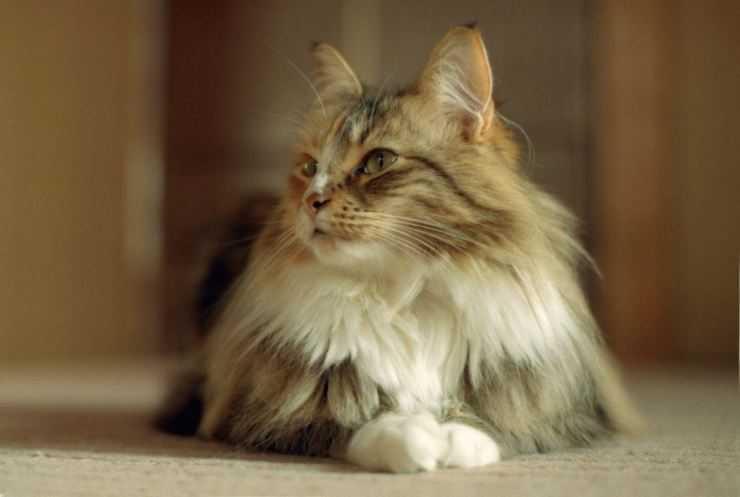 Норвежская лесная кошка: описание, характер, фото, цена, содержание