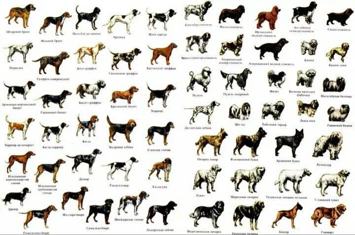 Названия распространенных маленьких пород собак и их особенности