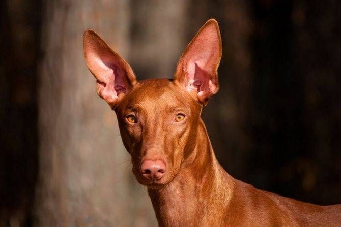 Собаки древнего египта: охотники, домашние любимцы, воины