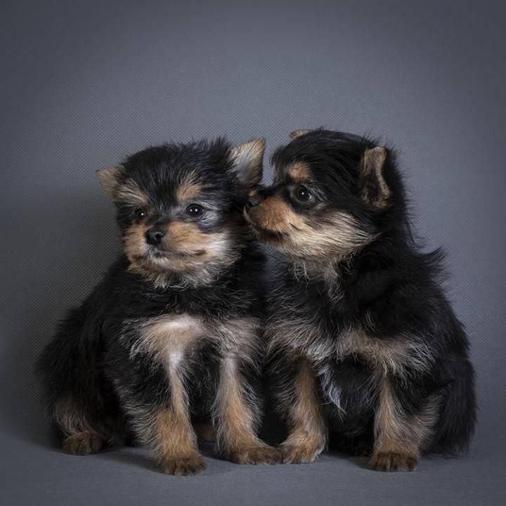 Какая порода собаки лучше шпиц или йоркширский терьер