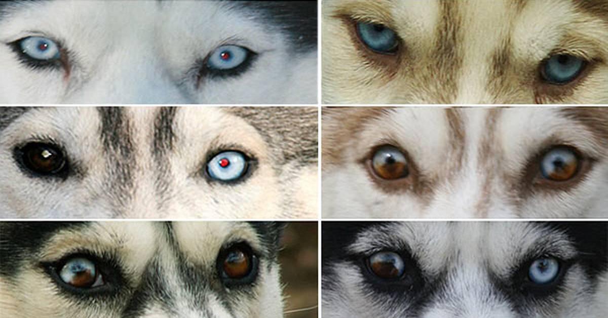 Черная хаски: история появления, черты характера, правила ухода, плюсы и минусы + как выглядят взрослые собаки и щенки на фото