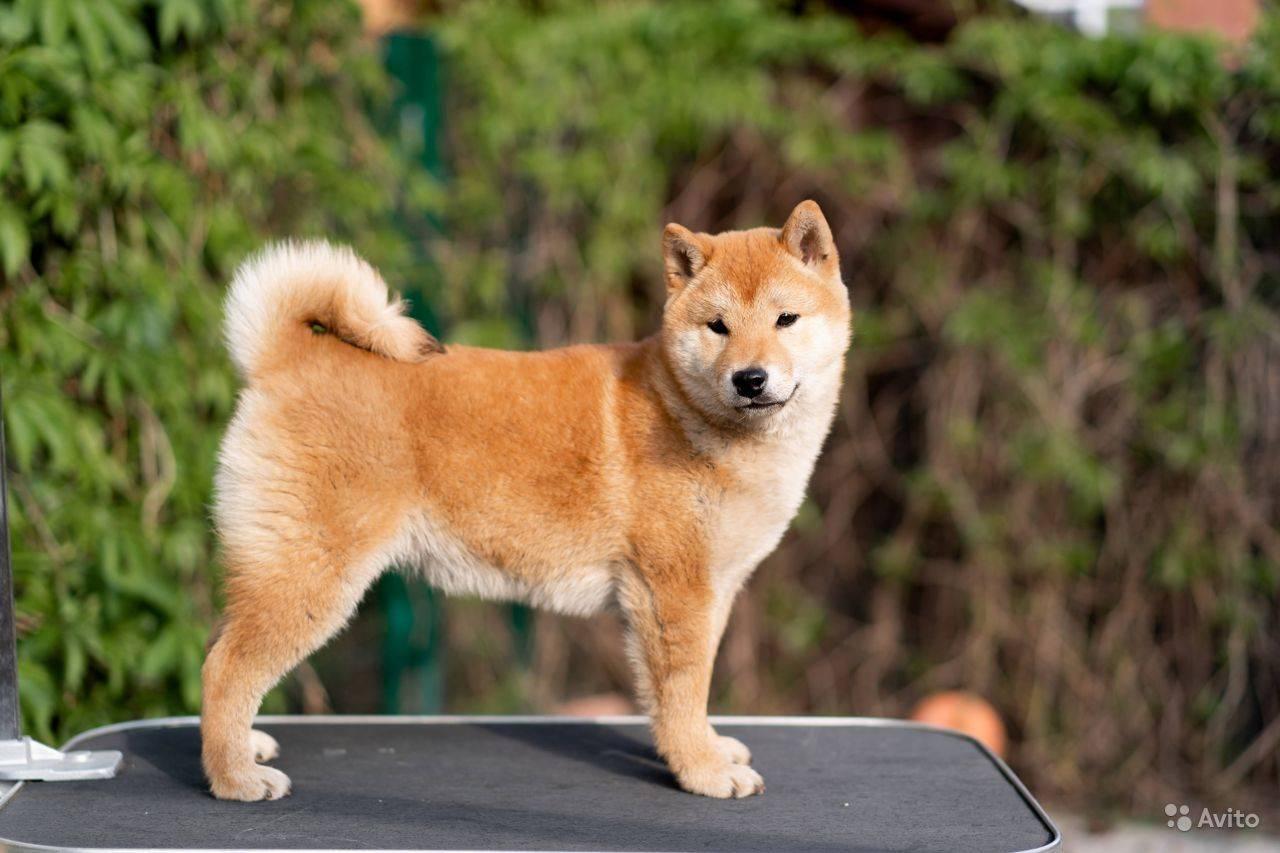 Сиба-ину (66 фото): описание японской породы собак, характер щенков и дрессировка, размеры и характеристика окрасов, отзывы владельцев