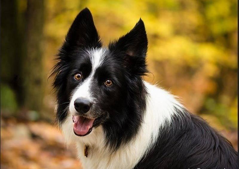 Самые умные породы собак в мире: рейтинг топ-20 собак по интеллекту