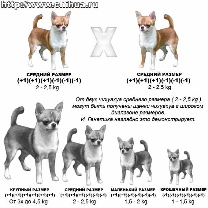 Плюсы, минусы и особенности содержания породы собак чихуахуа