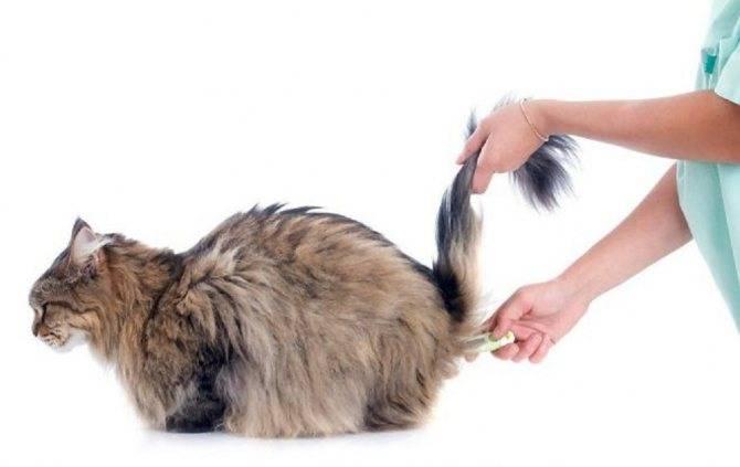 Как измерить температуру у кошки?