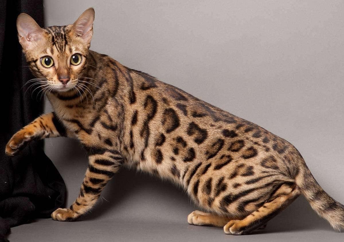 Красивые кошки: обзор самых милых пород в мире