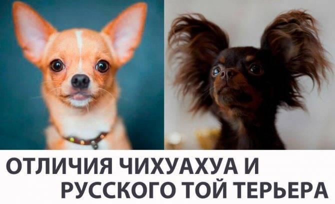 Той терьер и чихуахуа: отличия двух пород маленьких собак (фото)