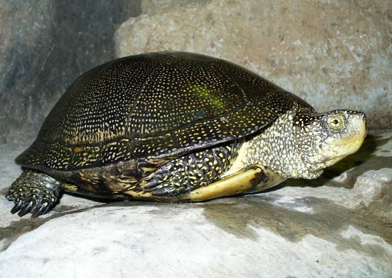 Европейская болотная черепаха в домашних условиях (черная с желтыми пятнами): содержание, фото, кормление, уход, продолжительность жизни, условия, обогрев, спячка, размножение