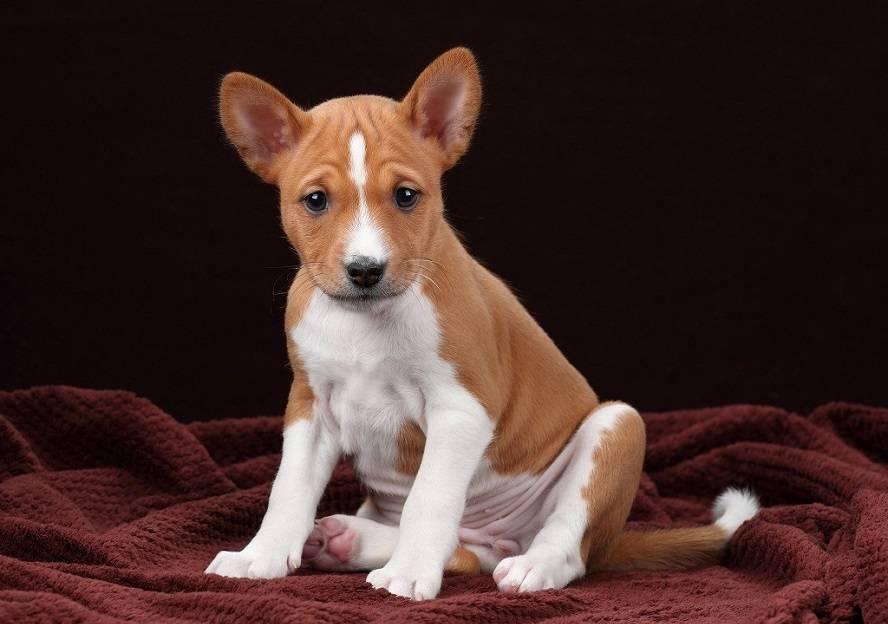 Лучшие тихие породы собак, которые меньше лают | hidogs.ru - породы собак, фото и описание