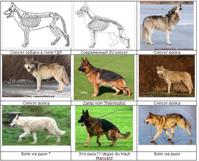Стандарты породы немецкой овчарки