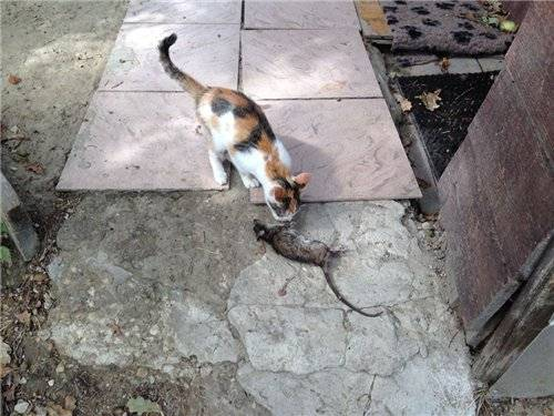 Крысолов порода кошек фото