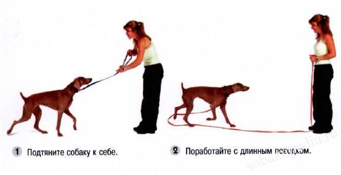 Как научить собаку команде «дай лапу»: дрессируем как профессионал. как научить собаку давать лапу