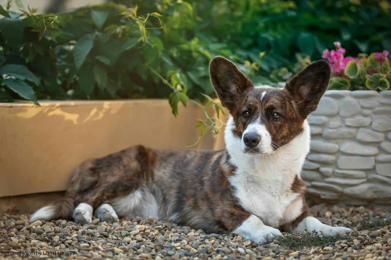 Порода собак вельш-корги: описание, фото, характер, особенности ухода и отличия кардиганов и пемброков