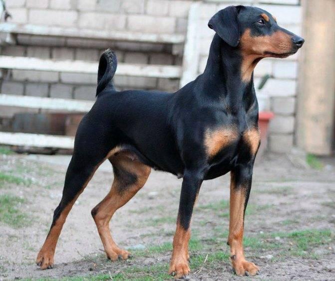 Доберман-пинчер – характеристика породы: внешний вид собаки, повадки и характер, содержание в домашних условиях, уход и дрессировка