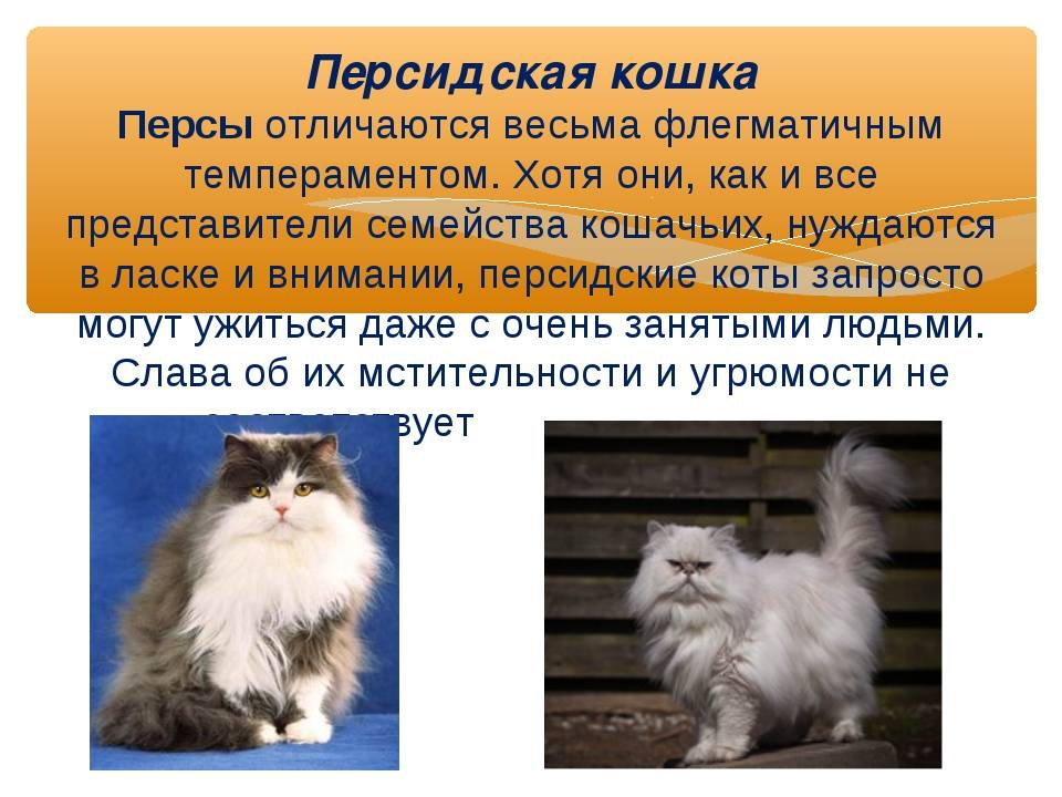 Сколько живут коты персидской породы — о животных на чистоту
