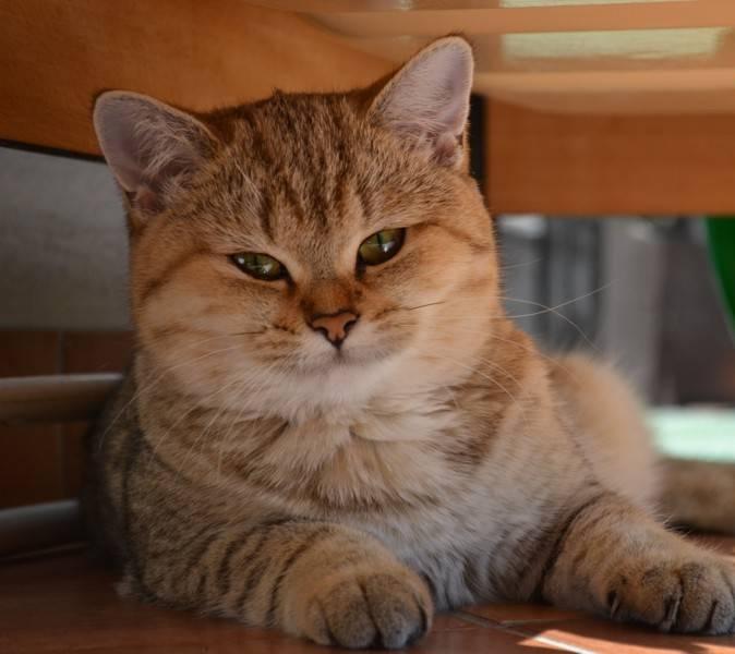 Кошка золотая шиншилла: характеристика, выбор и условия содержания