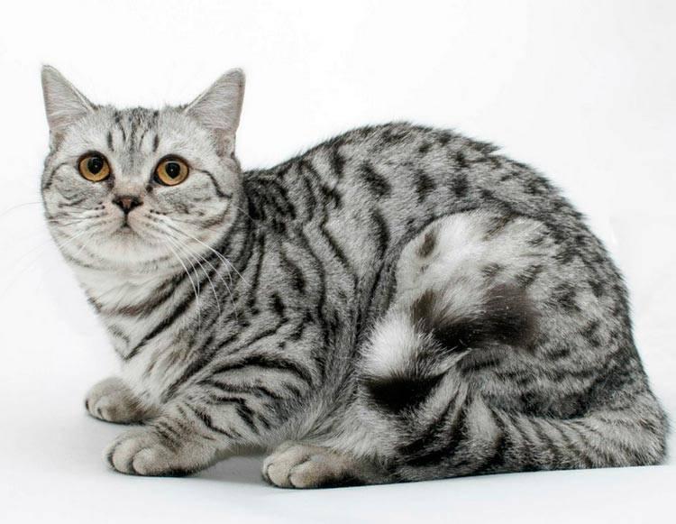 Скоттиш-страйт (шотландская прямоухая): обзор породы кошек с фото