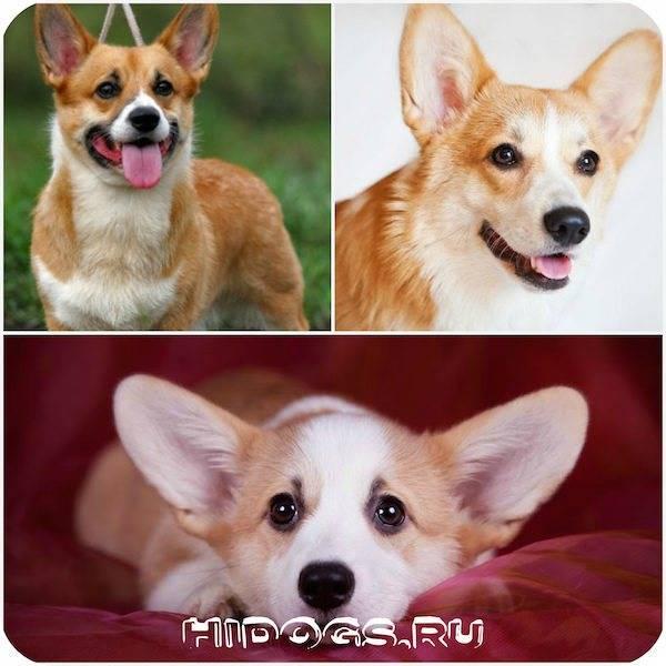 Содержание собаки вельш корги пемброк: описание породы, правила ухода, фото