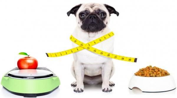 Ожирение у собак и как его предотвратить. методы лечения ожирения у собак, а также подбор диеты для похудания