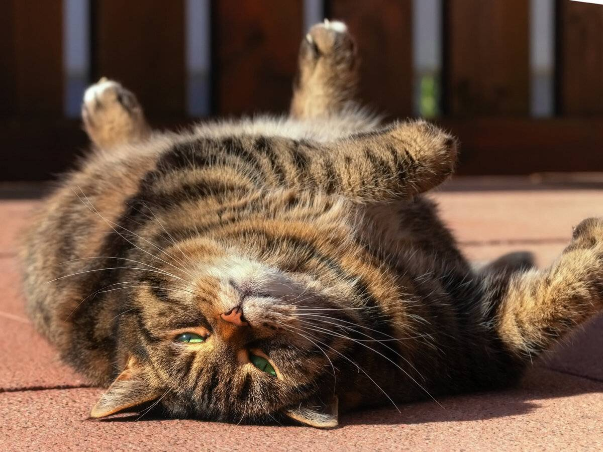 Животиком кверху: почему кошка переворачивается при виде вас на спину