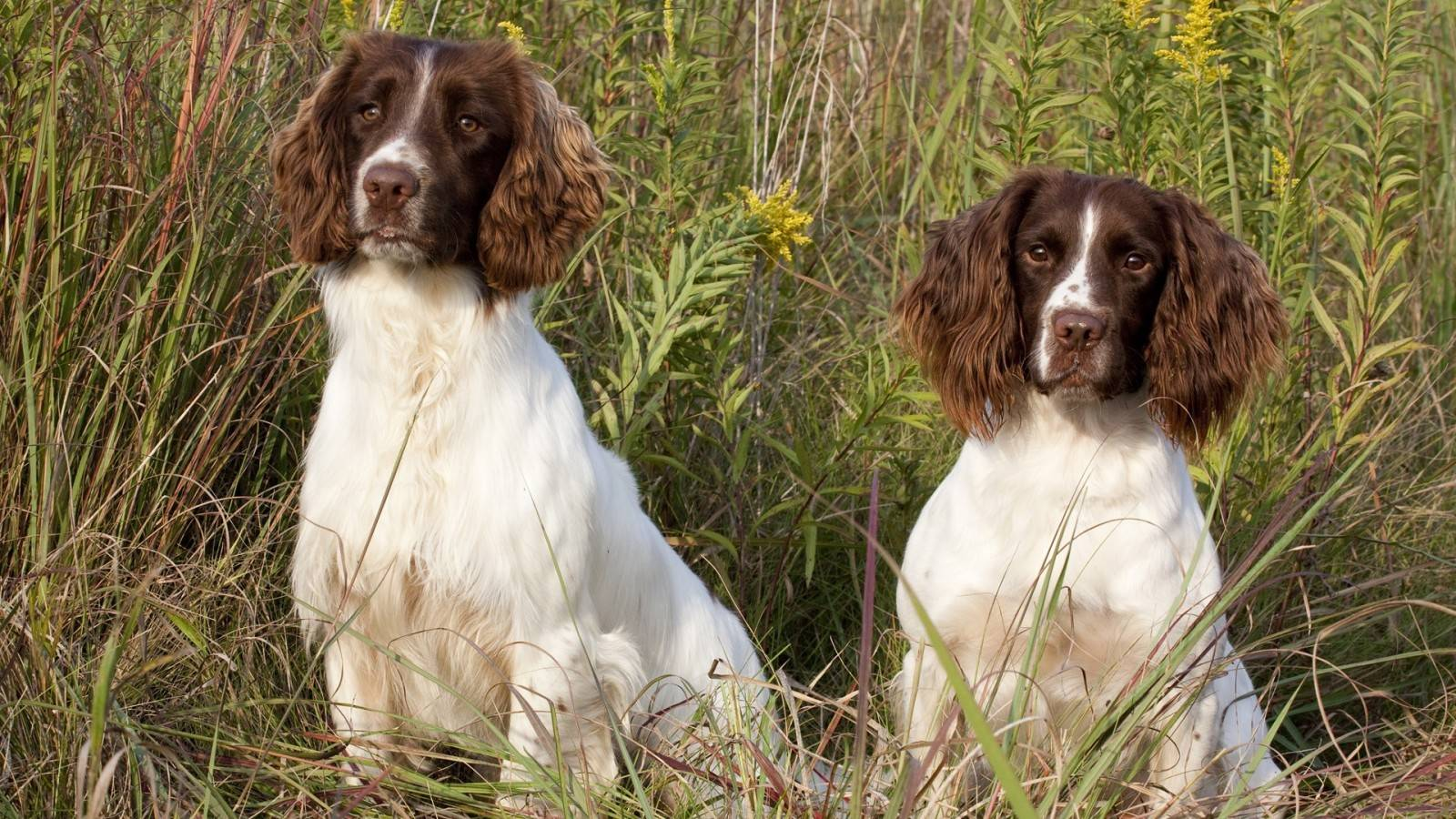Спрингер собака. описание, особенности, уход и цена породы спрингер | животный мир