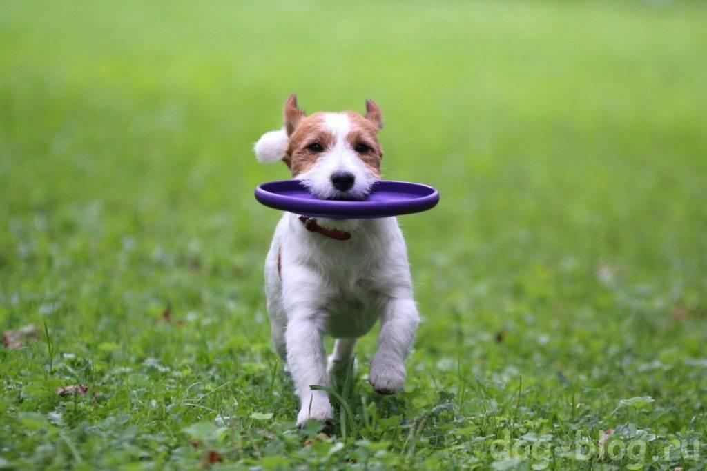 Гладкошерстные породы собак, их особенности, виды и фото | живность.ру