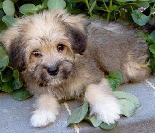 Тибетские терьеры – собаки, окутанные тайной…