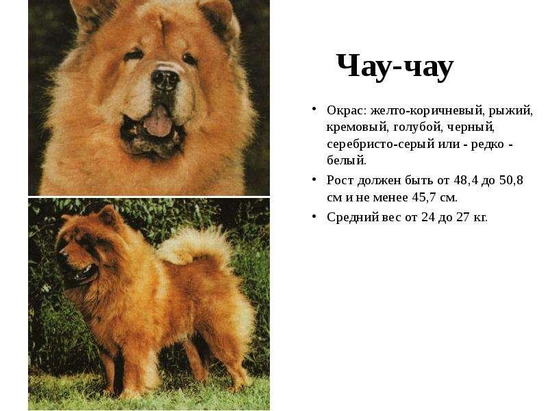 Чау-чау: описание породы, характер, фото, уход и отзывы владельцев