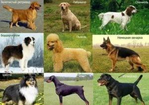 Какая самая редкая порода собак в мире: критерии для определения редкости
