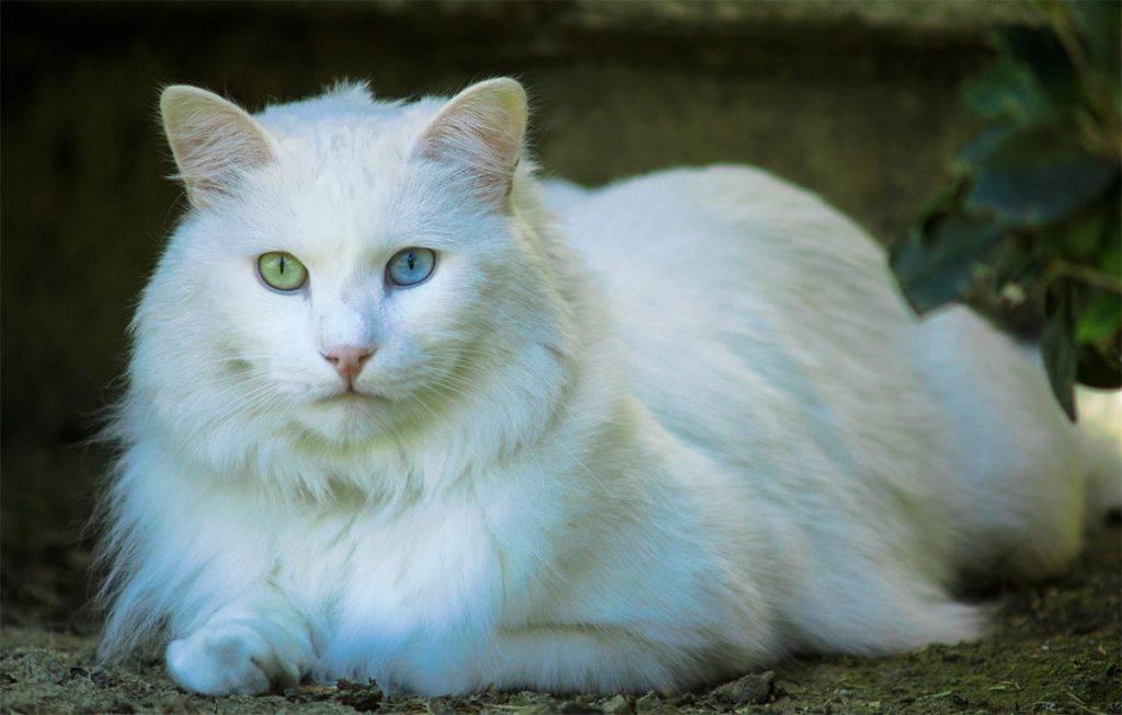 Турецкая ангора (ангорская кошка): описание породы, характер, отзывы (с фото)