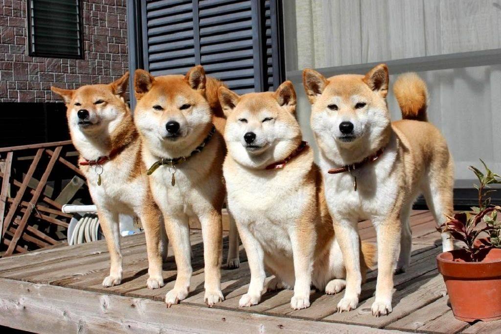 Японские собаки акито: описание породы, фото, цены на акита-ино