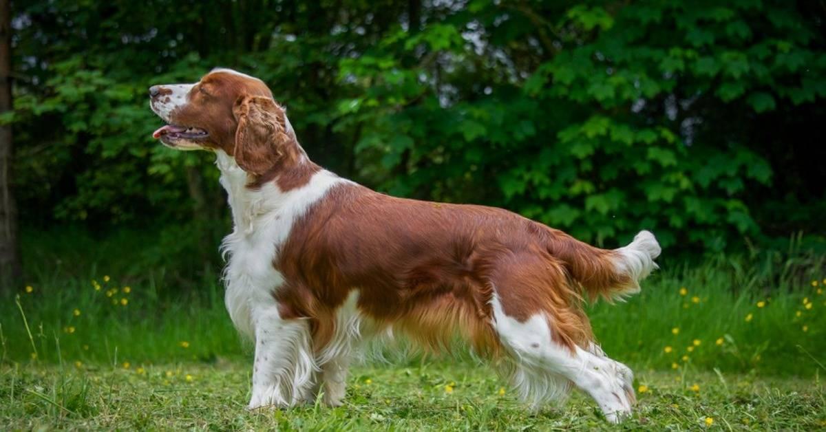 Описание породы собак английский спрингер спаниель с отзывами владельцев и фото