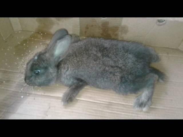 Почему дохнут кролики: причины, смертельные заболевания, что делать