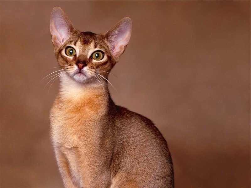 Кошка турецкий ван: описание внешности, характер породы, уход за питомцем, содержание, выбор котёнка, отзывы владельцев, фото ванского кота