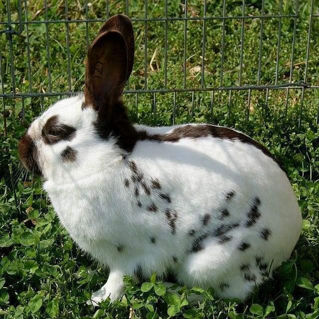 Все, что нужно знать о породе кролика «бабочка»