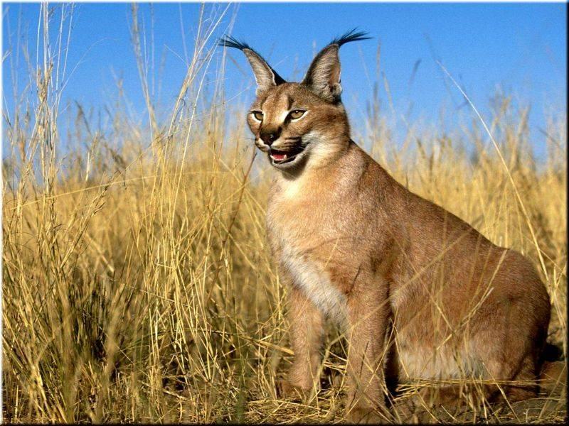 Порода домашняя рысь и другие похожие кошки