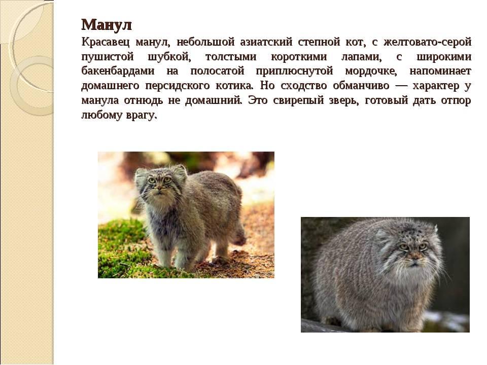 Домашний кот или древний хищник: описание, фото, характер, содержание, уход за породой манул