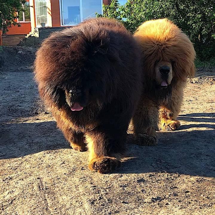 Самый большой и дорогой тибетский мастиф в мире: фото с человеком и видео крупной собаки