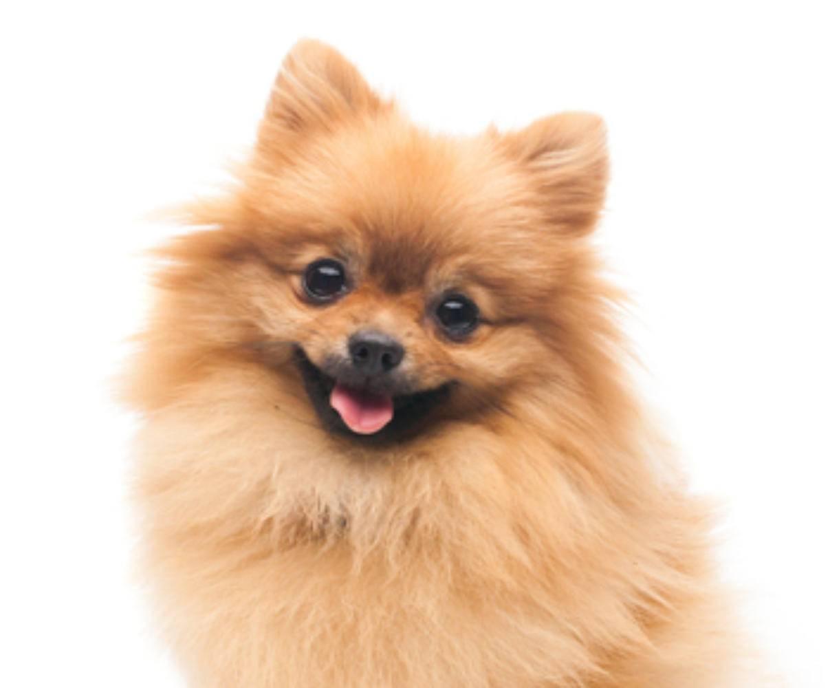 Как назвать шпица мальчика: список красивых имен для щенков.