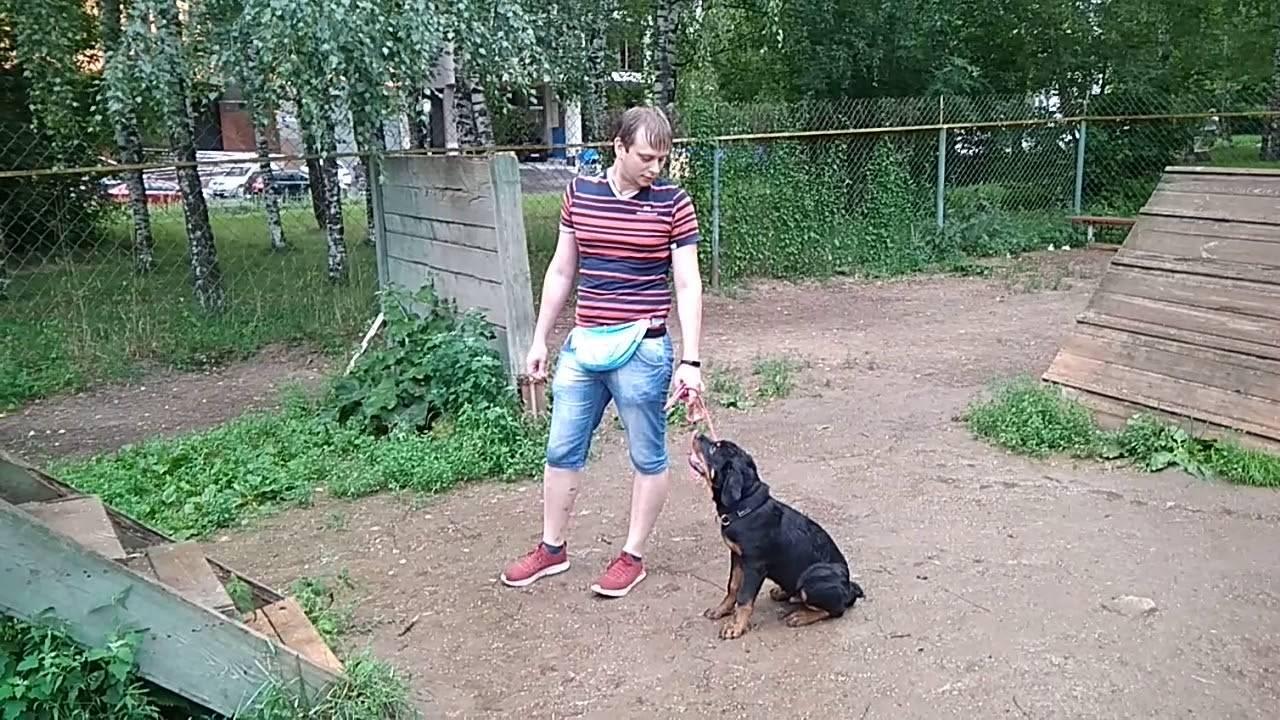 Воспитание и дрессировка ротвейлера: с какого возраста начинать и как приучить собаку к поведению на улице