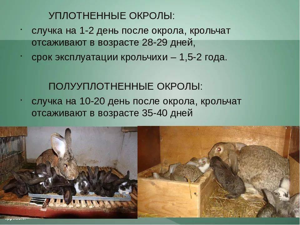 Почему крольчиха может не подпускать крола