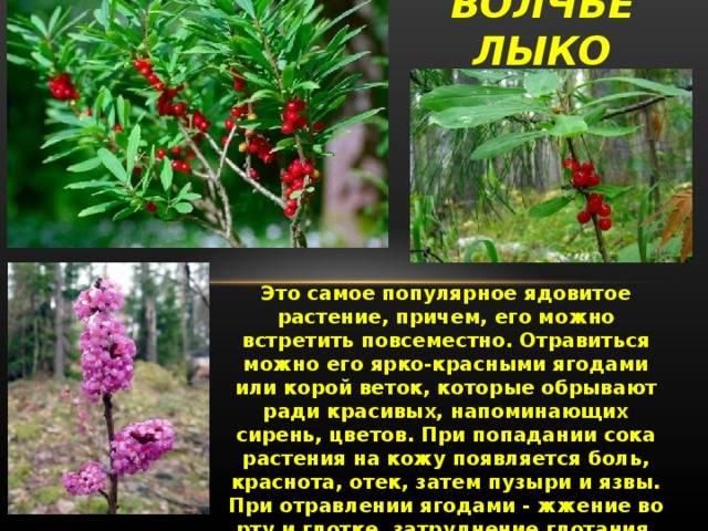 Ядовитые растения для кошек: драцена и другие комнатные цветы