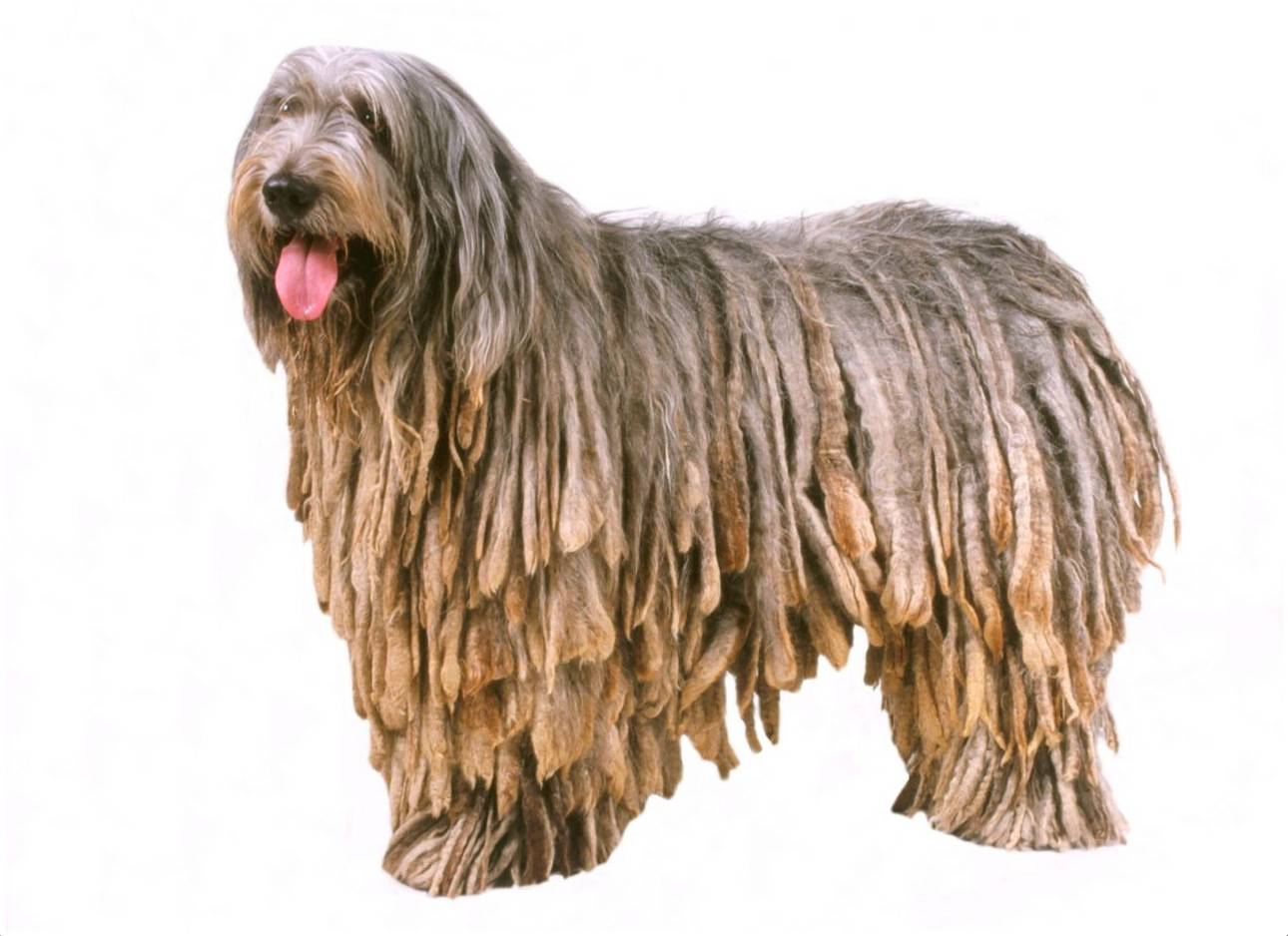 Собака с дредами: название породы, фото