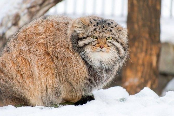 Манул и камышовый кот сравнение. манул — кот из красной книги
