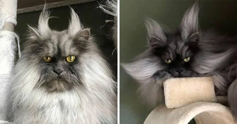 Список самых злых пушистых пород котов или же с очень злобными мордами