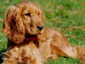Спаниель: основные виды группы пород охотничьих собак с описанием и фото (ч1)