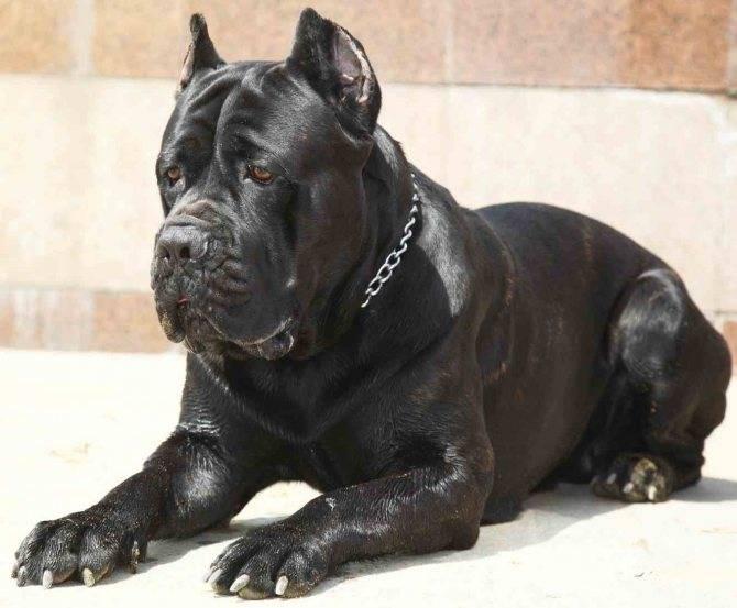 Кане корсо собака. описание, особенности, уход и цена кане корсо