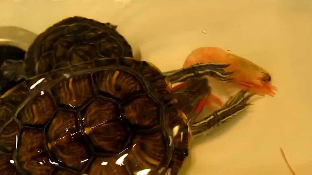 Содержание красноухой черепахи в домашних условиях: чем кормить и как за ними ухаживать