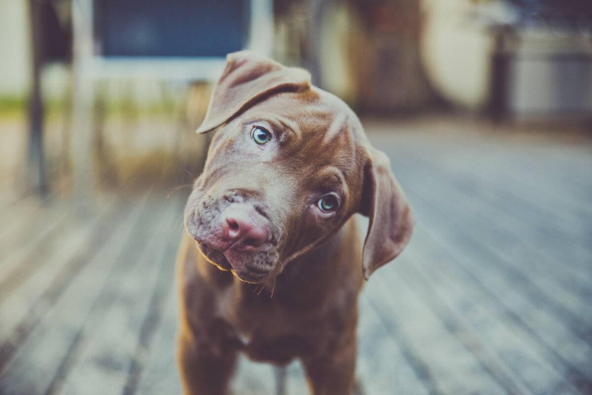 Почему собаки наклоняют голову, когда слушают хозяина? — спрашивалка