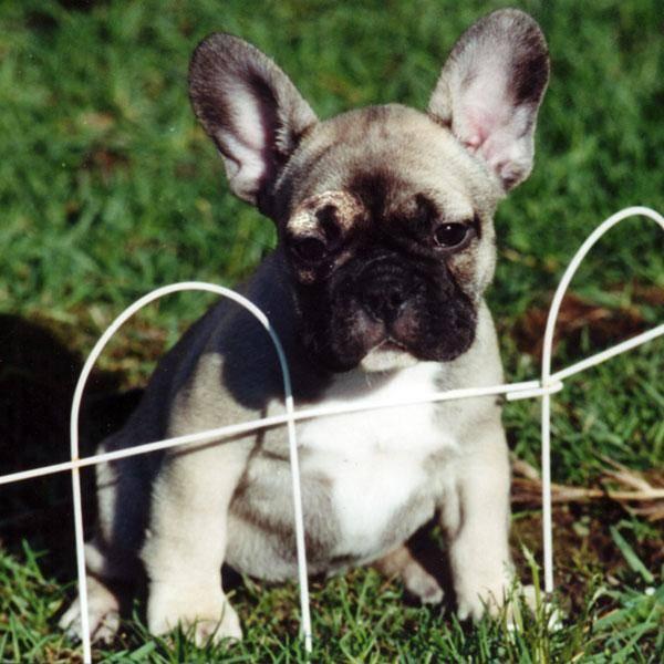 Французский бульдог ? фото, описание, характер, факты, плюсы, минусы собаки ✔